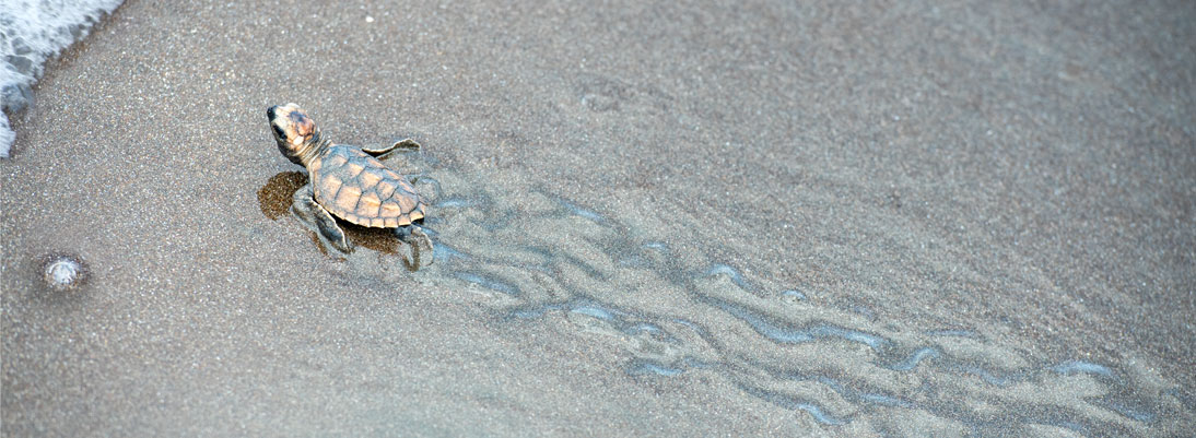 turtle baby intuitively finds his way.
